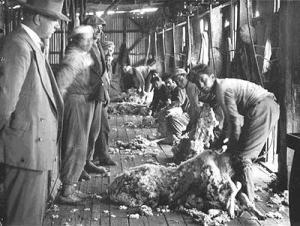 Esquiladores, parte importante entre los trabajadores de la FOM